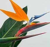 꽃피는극락조 / 목대굵은 3촉특대품/ 높이 150 너비 110|