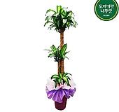 행운목 3단 (pp분) 포장 개업식물 축하화분 분양사무소식물|