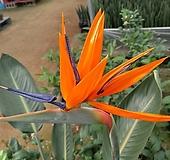 원종극락조-오래묵고풍성꽃대있음-특|