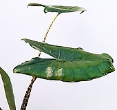 꽃파는농부 - 알로카시아 제브리나 