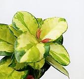 꽃파는농부 - 해피호야(리사호야)|