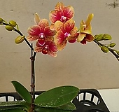 호접란 금나비.가지.네추럴복카시오렌지색.다시입고.고급종.상태굿.인기상품.|Echeveria Casio