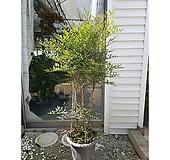 남천나무 현관 카페 인테리어 대형식물 가을식물|