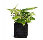호야 숯화분 미니화분 공기정화식물 가습식물|