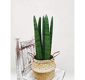 스투키 + 라탄해초바구니 (세트) 집안 원룸 감성식물식물|