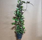 [신품종]꽃피는 호야 (핑크/화이트) 걸이화분/꽃색상은 랜덤으로 보내드려요|