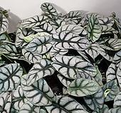 실버드래곤 알로카시아(한목대) 수입식물 재입고  