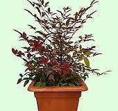 꽃과나무 ] 남천 / 꽃 / 단풍 / 반양지식물 / 관리 쉬움 / 최저온도 -15도 / 중국남천시|
