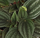 에덴로소 페페   -  공기정화 / 미세먼지 / 인테리어 / 반려식물 - 꽃보러가자|
