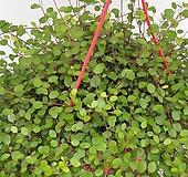 트리안 대품(행긴) - 공기정화식물 / 미세먼지/반려식물/관상용 - 꽃보러가자|