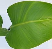 극락조(여인초) 중대품  (65-80CM) - 공기정화 / 관상용 / 반려식물 - 꽃보러가자|