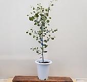 [진아플라워] 사랑스런 하트잎 유칼립투스 폴리안 대형  390 