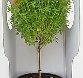 바질트리 중품(박스포장) - 공기정화 / 식용식물 / 인테리어 - 꽃보러가자|