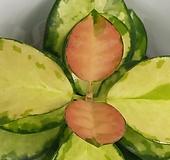 리사호야  (농장에서 바로배송)- 잎색이 아름다운  다육 / 인테리어 / 공기정화 - 꽃보러가자|