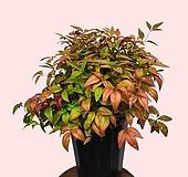 꽃과나무 ] 오색남천 / 꽃 / 단풍 / 반양지식물 / 관리 쉬움 / 최저온도-15도 / 중국남천시|