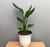 [희희낙락플라워]극락조/여인초/공기정화식물/새집증후군/인테리어식물 |