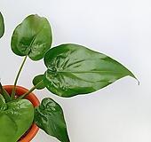 꽃파는농부 - 하트 알로카시아 