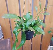 [행잉식물] 호야 립살리스루비|
