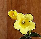 개나리쟈스민(향기꽃)|