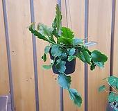 [행잉식물] 호야 립살리스 후커리|