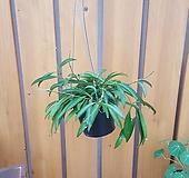 [행잉식물] 호야 와이티|