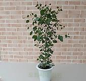 [도희씨네 정원] 동글 하트잎 유칼립투스 폴리안 대형 390 