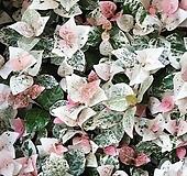 풍성한 초설 (오색마삭)(농장에서 바로직송)  - 공기정화 / 관상용 /인테리어 / 반려식물 - 꽃보러가자 