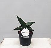 티아라 스투키 특이식물 화초 현관 카페식물|