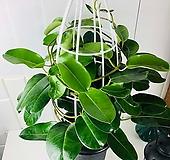 마다가스카르 쟈스민 대품 덩쿨쟈스민 향기좋은꽃|
