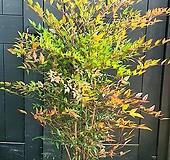 사계절 매력있는 남천나무, 높이 120cm전후|
