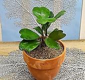 [용플라워] 인테리어추천 공기정화식물 하트호야(이태리토분)|