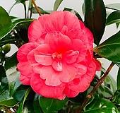 분홍대륜겹동백 / 동일품배송/ 높이 120|