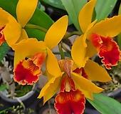 카틀레야.비너스.노랑색에 빨강색립프.꽃중형종.고급종.잘않나오는 품종.인기상품.신상품입고.아주예쁜색.꽃피었던 상품. Echeveria Venus
