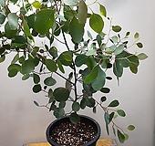 폴리안유칼립투스(한목대) 비염에 좋은아이에요 높이 40-60 