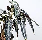 꽃파는농부 - 거북이 알로카시아(중품) 
