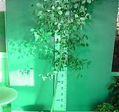 유칼립투스 폴리안-특특특대품4번-높이200센치-아토피-비염.알레르기효과만점-동일품배송 