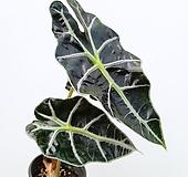 꽃파는농부 - 거북이 알로카시아(소품) 