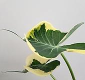 [진아플라워] 희귀식물 나비무늬 알로카시아  산소토마 290 