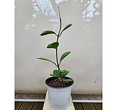 수입 하트호야 (포트) 특이식물|