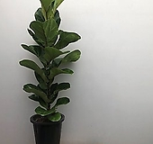 [희희낙락플라워]떡갈고무나무/가랑잎나무/공기정화식물/인테리어식물/플랜테리어/집들이선물/실내화분 |