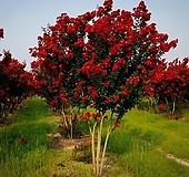 자엽배롱나무-베스트레드(묘목1개) 15cm화분묘 노지월동 다년생 목백일홍|