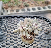 익스펙트리아 철화(분가격 3,000원)|Cremneria Expatriata f cristata