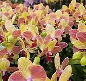 서양란 삼색조 호접란 꽃대1-2  129|