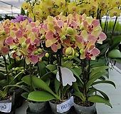서양란 삼색조 호접란  꽃대1-2대 129|
