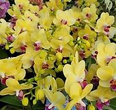 서양란 쌍대 옐로우 꽃대1-2대 호접란129|
