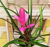 틸란드시아 안토니오 공기를 정화해주는 핑크 꽃 [하늘꽃농원]|