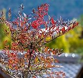 남천 묘목 h80cm 5주 묶음 - 단풍 나무|