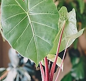 [신품종] 알로카시아 임페리얼레드 