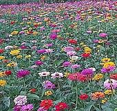 백일홍 혼합 씨앗 야생화 씨앗모음 종자 판매|