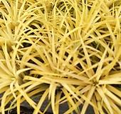 황금틸란2개-미세먼지잡아먹고사는틸란드시아|variegated